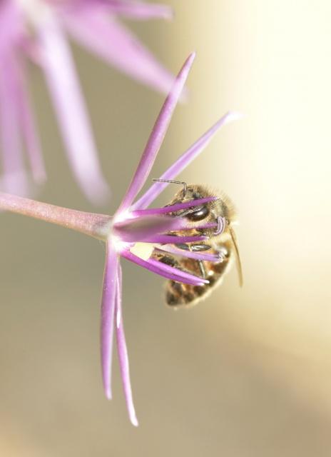 plantes mellifères : les meilleures plantes à insectes de vos jardins  - Page 2 303810ail2