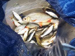 Pêche aux poissons blancs