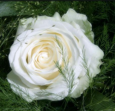 Tubes roses 307687Gibsonnwj