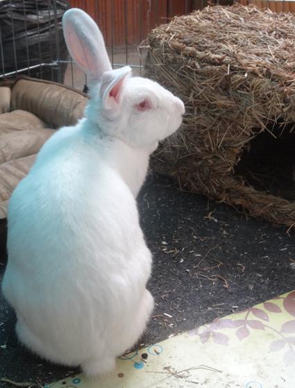 [ADOPTEE] Althéa, lapine de laboratoire à adopter 313020puce1