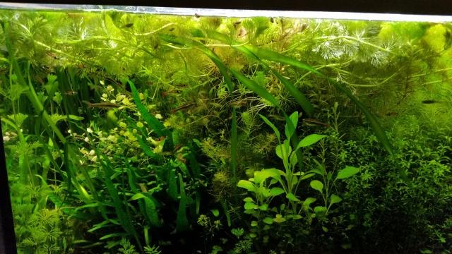 Mes (plus) de 60 plantes dans mon 240 litres - Page 4 31389620140802205213