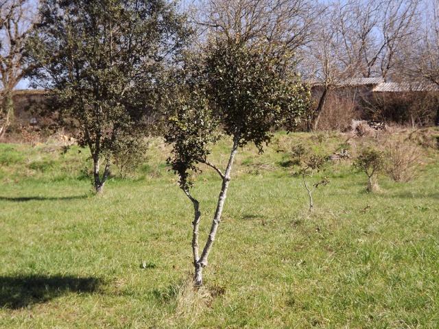 Quercus ilex - chêne vert 319333DSCF5014