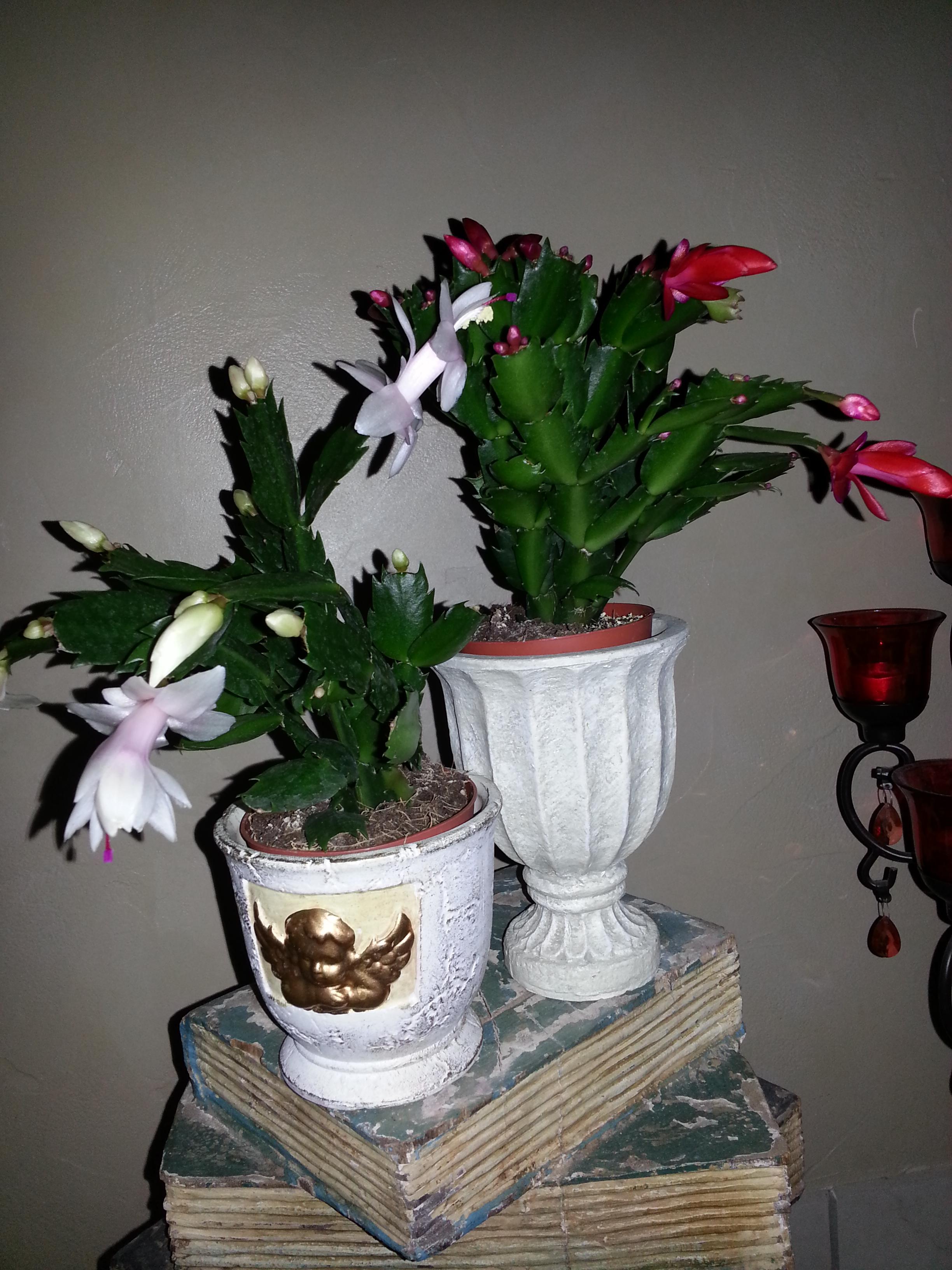 Schlumbergera blanc et rouge 32334520131210224534