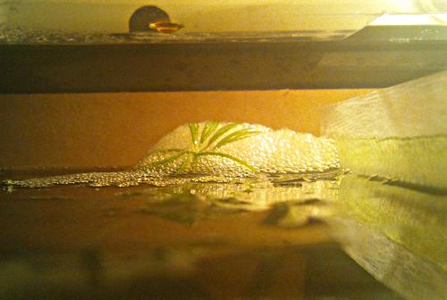 [ PHOTOS ] Les nids de bulles de nos poissons 327075DSC0162