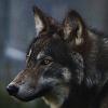 Les images des loups 336136imgseth