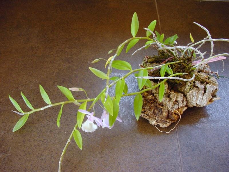 Dendrobium aphyllum ( cuculatum ) 336862DSC05729800x600