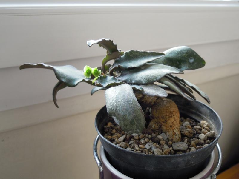 Euphorbia francoisii 338265franoisii10