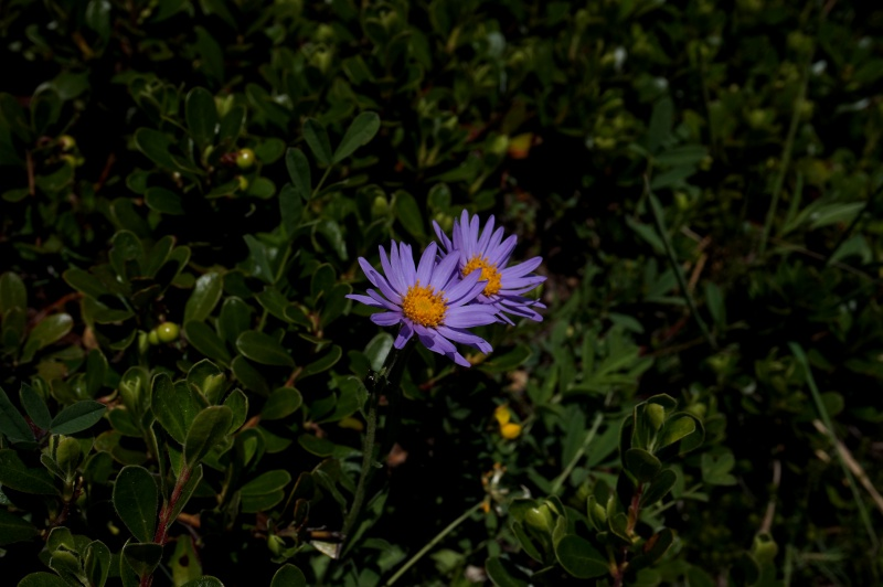 pas de carni mais de jolies plantes alpines ! 342660DSC03388