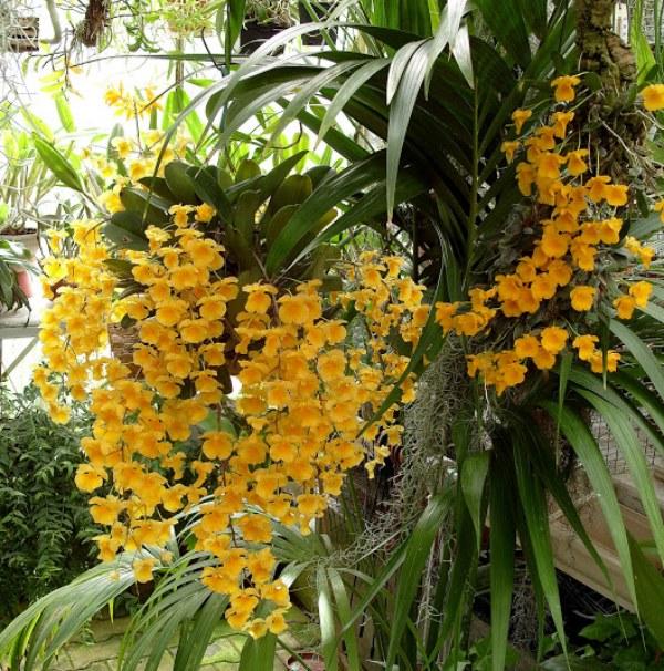 Discussion autour d'un genre : Les Dendrobium 342922S1052060800x600