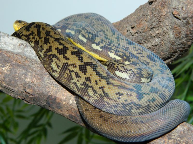 M.timoriensis 343784DSCN1599