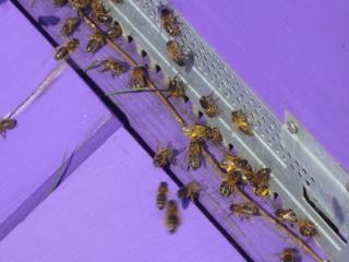 Les auxiliaires du jardinier : l'abeille noire (Apis mellifera mellifera) 346209P1020503