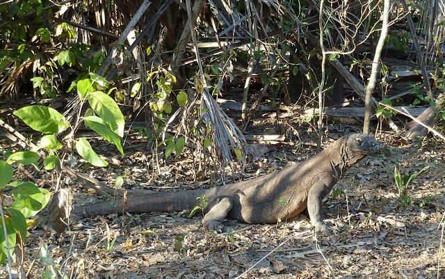 Varanus komodoensis ou le dragon de Komodo. 349916P1000003red640