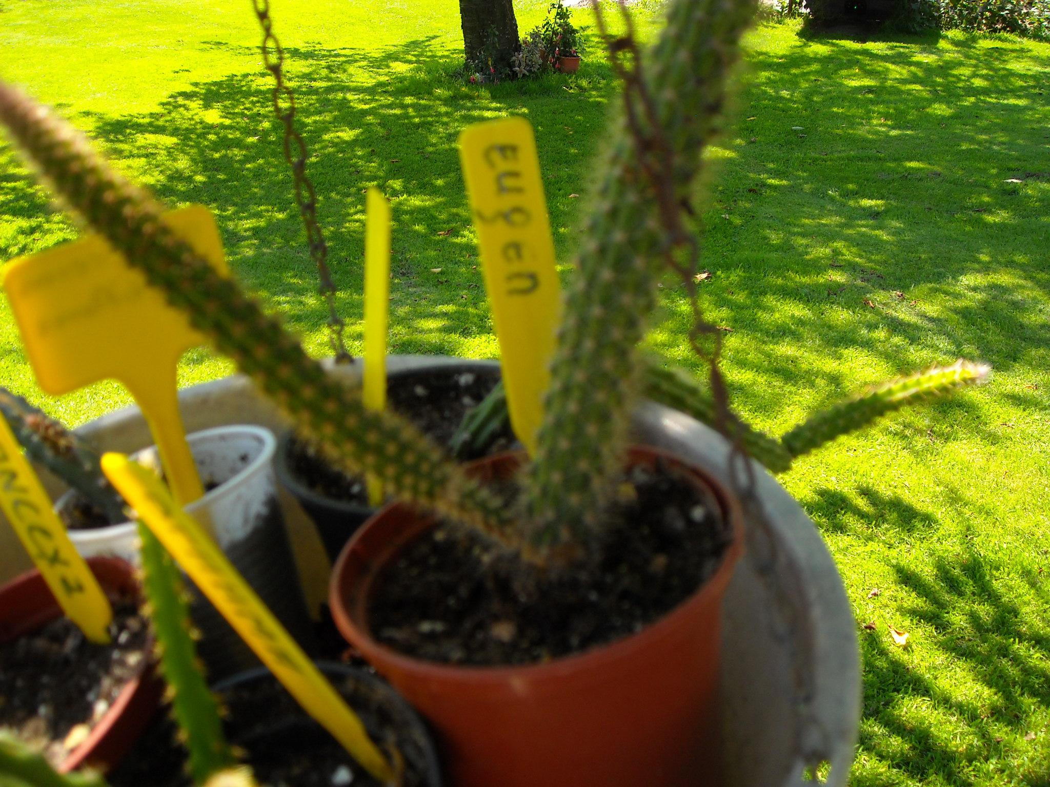 aporocactus beautg 351236potetaporoc010