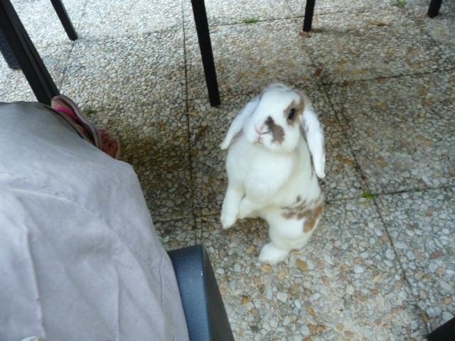 Nina, lapine bélier, née en aout 2011 - Page 7 351972P1140685