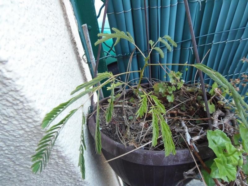 Une plante sensitive mais laquelle ? 356660photoforum2618