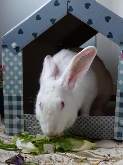 [ADOPTEE] Acacia, lapine de laboratoire à adopter 357709P1150422