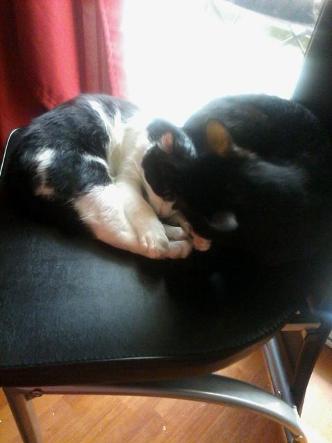 Joël, chaton type européen noir et blanc, né le 25/06/2014  361338IMG20141016160357