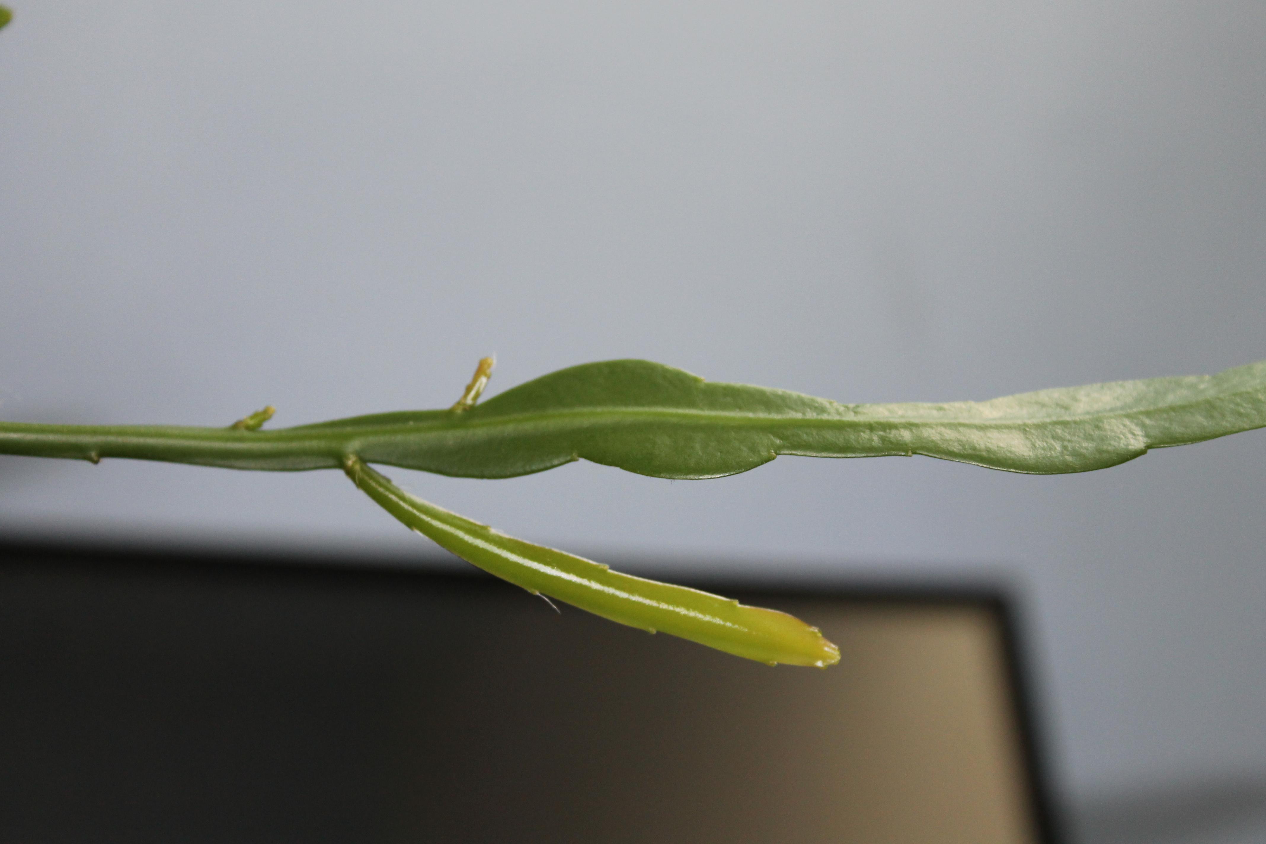 Mon Epiphyllum oxypetalum,....suite! 362010Le29Mai2014