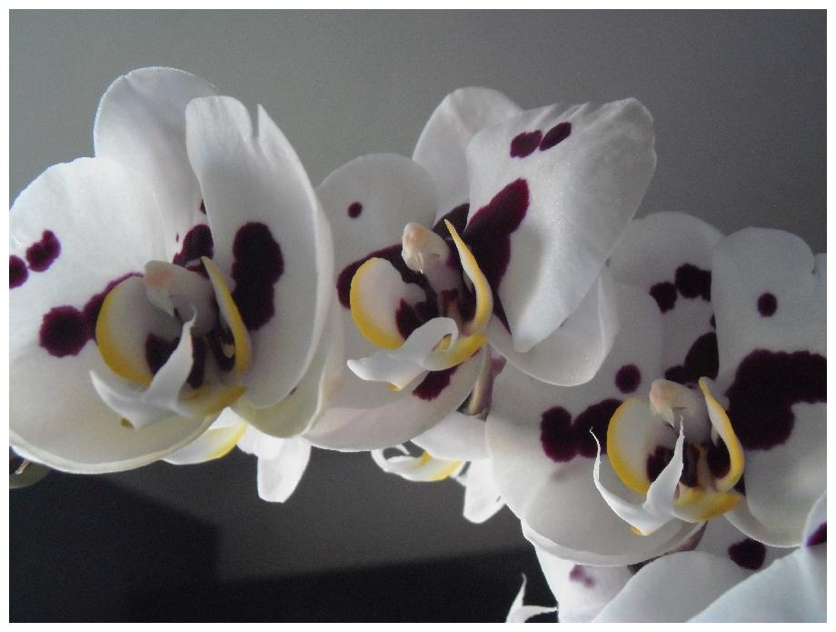 Phalaenopsis Pikatchu 362206orchipikatchu2