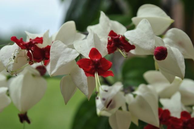 Mon clerodendrum en fleurs  367205DSC0713