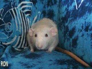 Généalogie des ratons 370128HESTIA
