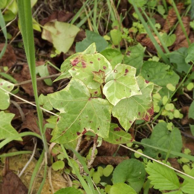 Hedera - lierre - espèces, hybrides horticoles 375988lierre6