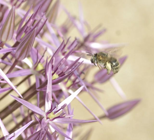 plantes mellifères : les meilleures plantes à insectes de vos jardins  - Page 2 389202ail3