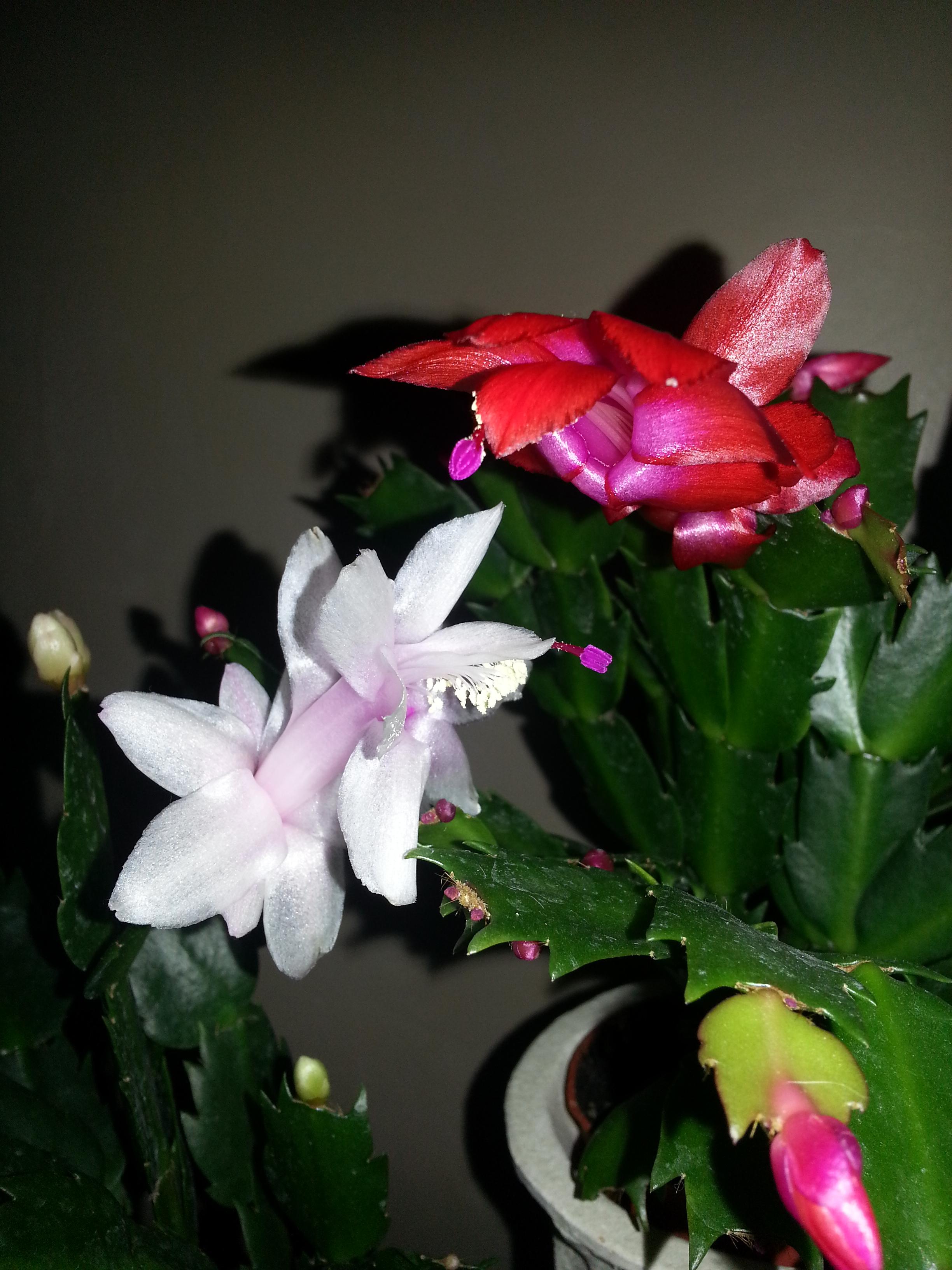Schlumbergera blanc et rouge 39016720131213195837