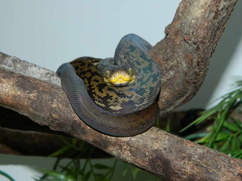 M.timoriensis 390459DSCN1595