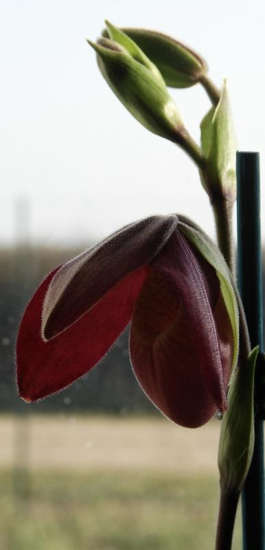 Phragmipedium Memoria Dick Clements (sargentianum x besseae) 393489bouton2014030801
