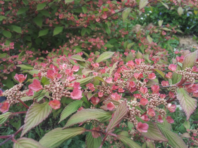 viburnum plicatum molly schroeder - Page 2 39562220170503150719