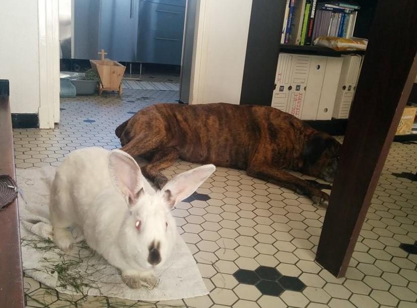 Association White Rabbit- Réhabilitation des lapins de laboratoire - Page 2 395648121154598897438411177565552872567465724121n
