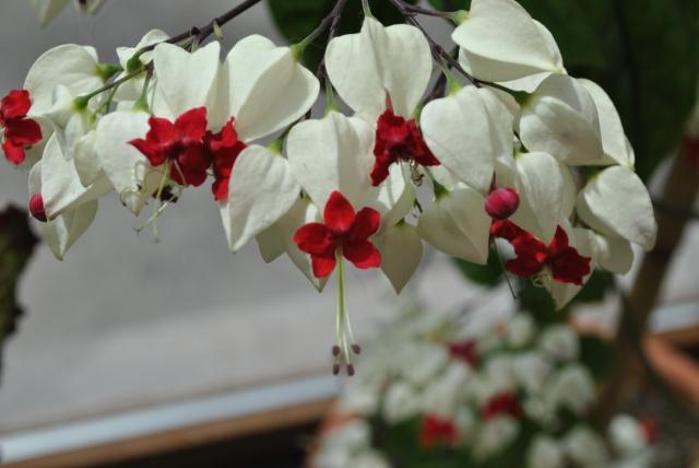 Mon clerodendrum en fleurs  400665DSC0700