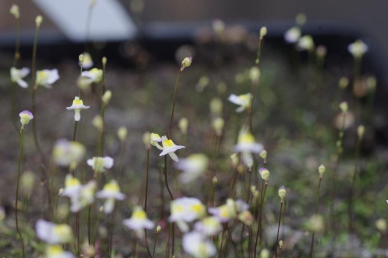 Utricularia Bisquamata 404442IMGP4754