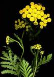 Partie Guérisseur : Les plantes de la Forêt 404470tanaisie
