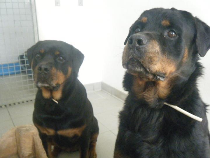 Hugo et vélia couple de rott de 8 ans - LOF (55)   4081222842291344054333136291320763902132002190886416645n