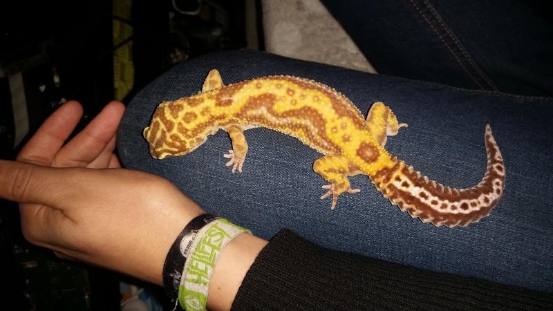 Réussir à enfin trouver sa phase... Gecko leopard F 40814520161009220134