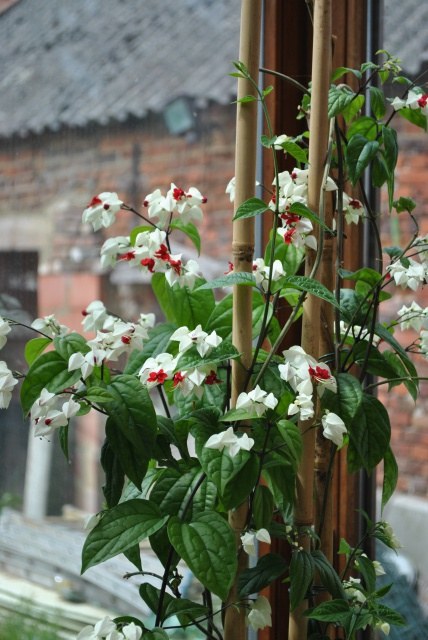 Mon clerodendrum en fleurs  409032DSC0696