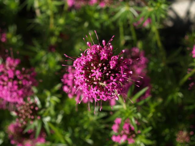 Crucianella stylosa (Phuopsis stylosa) 409679P5260537