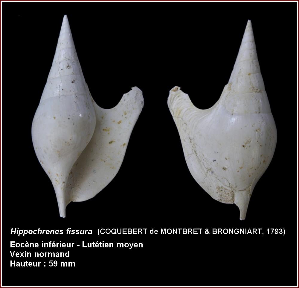 "† Strombidae fossiles de la collection ""hybodus"" - Eocène du bassin parisien 412151plhippocrenesfissura"