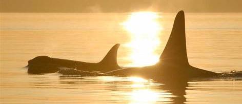 [News] Importance de la ménopause chez les orques 412268ytgytgytg