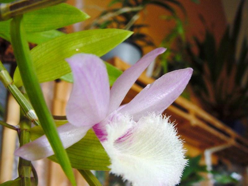 Dendrobium aphyllum ( cuculatum ) 413666DSC05728800x600