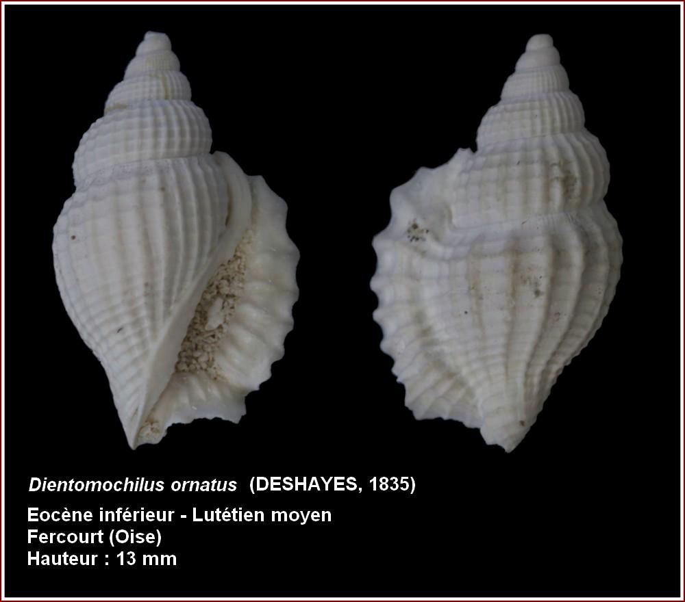Strombidae - † Dientomochilus bartonensis ornatus (Deshayes, 1835) -  Lutétien / Bassin Parisien 415776pldientoornaltus