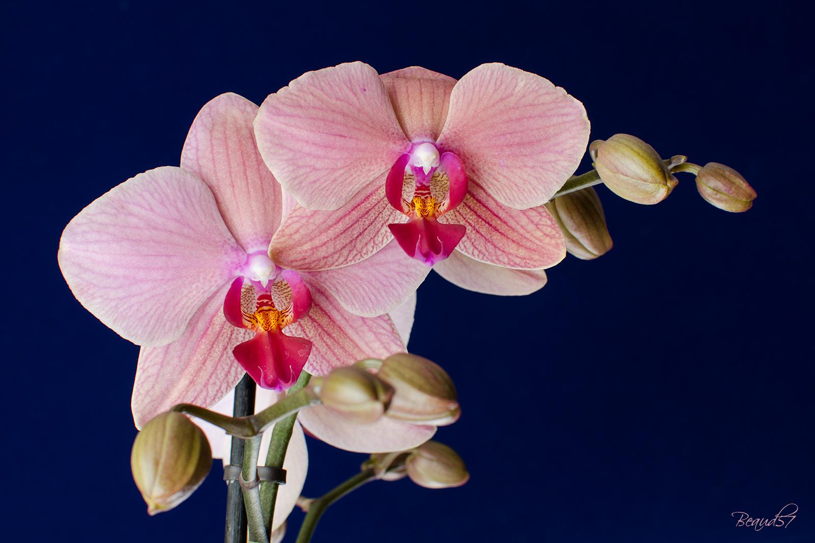 Tulipes, jacinthes et orchidées à Keukenhof 416147orchidee