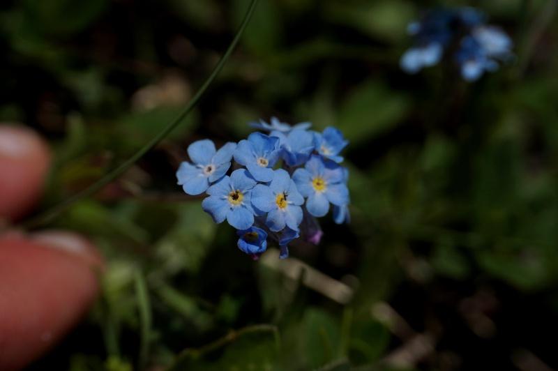 pas de carni mais de jolies plantes alpines ! 419170DSC03429