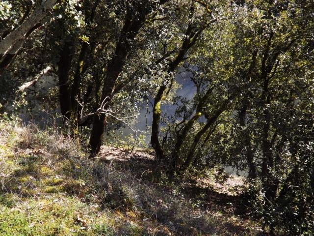 Quercus ilex - chêne vert 420519DSCF51271024x768