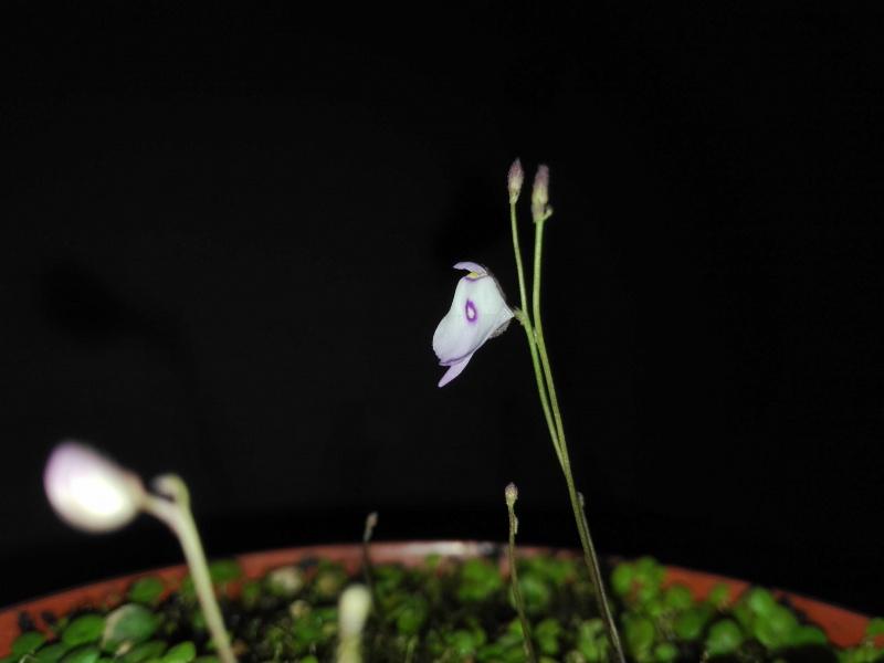 Utricularia pubescens 422897IMG20160407113839