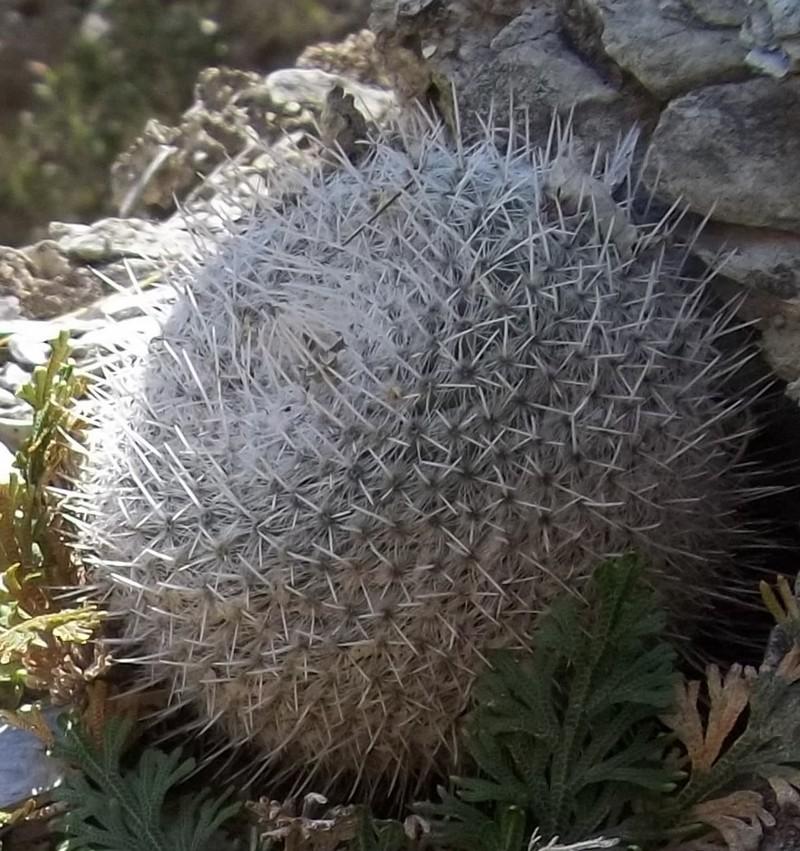 Confirmation Mammillaria gemnispina from Tolantongo, Hidalgo 4238151002105Copie2