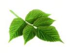 Partie Guérisseur : Les plantes de la Forêt 427228feuilledeframboise