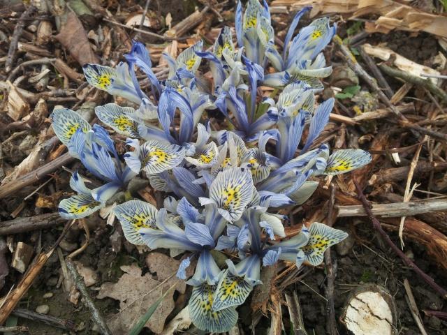 Iris reticulata - Page 6 43089020160130163849